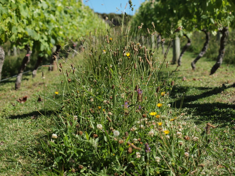 SPRING FLOWERS THROUGHOUT THE VINEYARD AISLES - HOME VINEYARD, WAIHEKE ISLAN