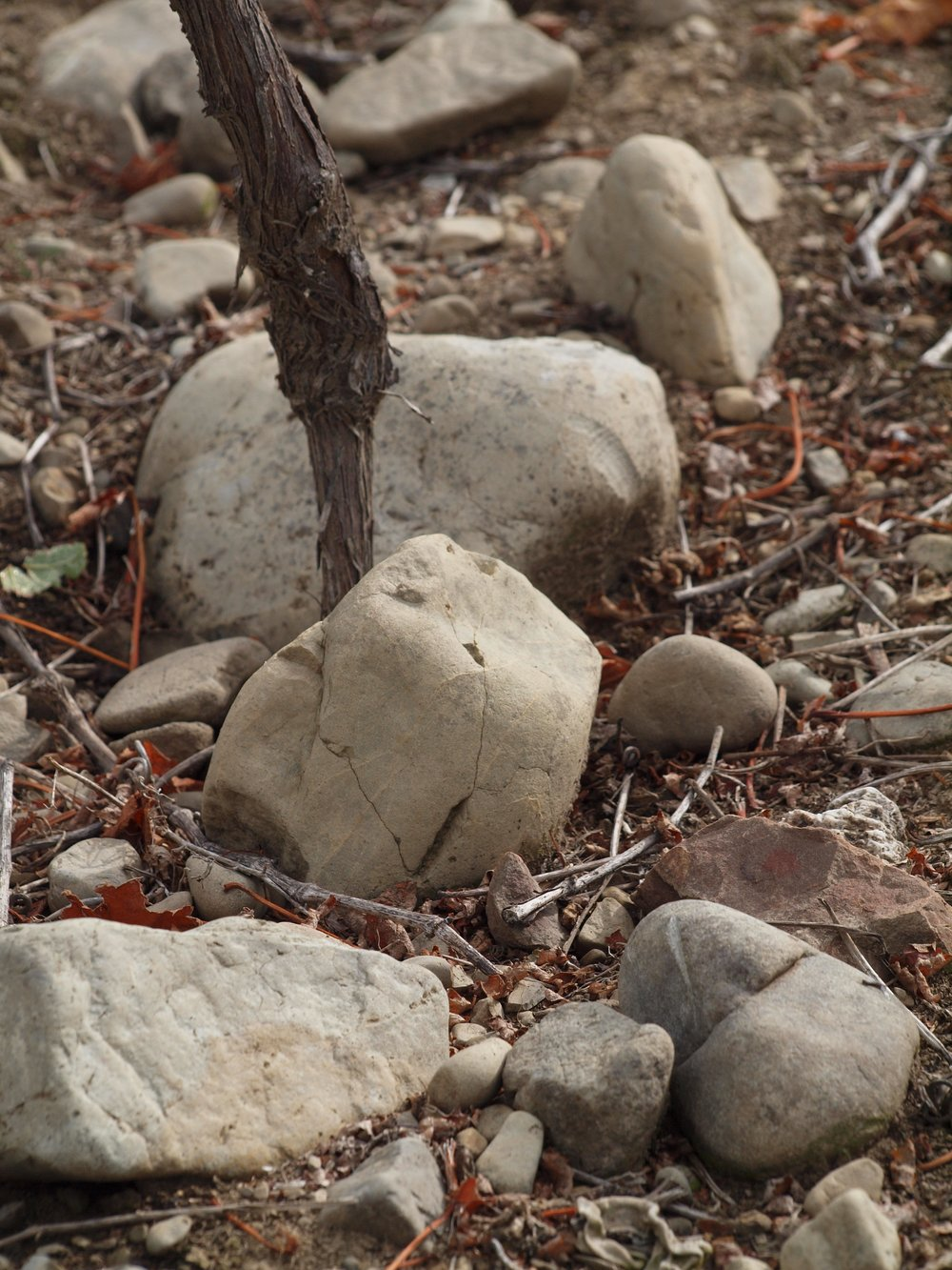 SAUVIGNON BLANC VINES IN THE JURASSIC GREYWACKE RIVER BED STONES OF OUR EAST TERRACE, WAIHOPAI VALLEY VINEYARD