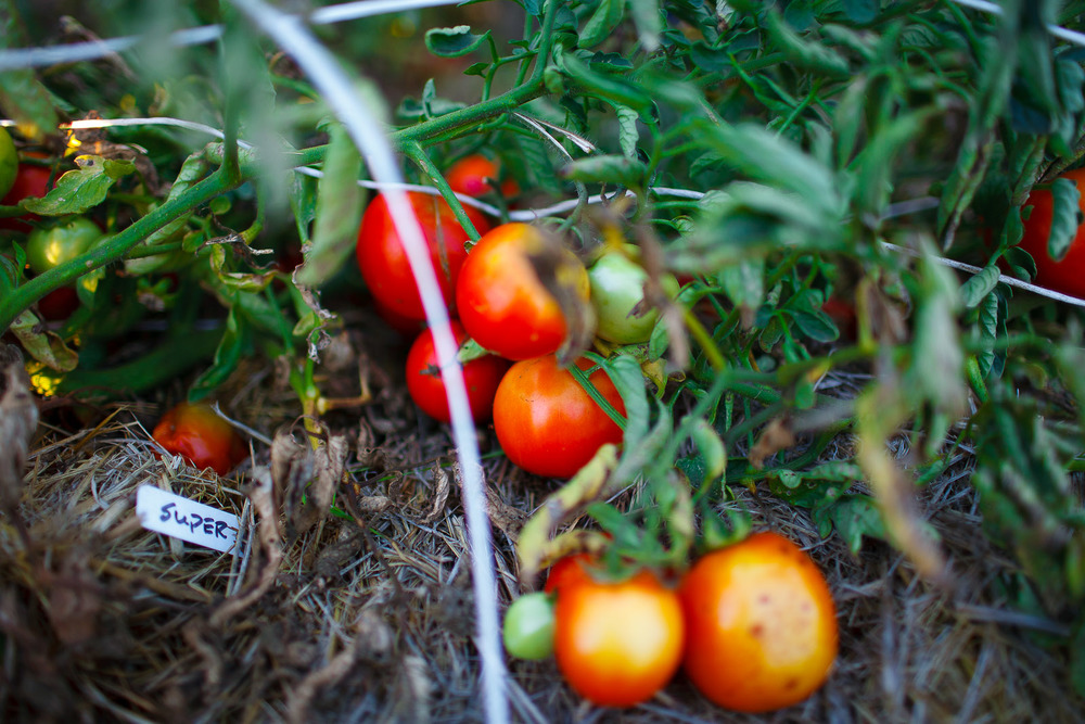 The-French-Laundry-Yountville-California-Vine-ripe-tomatoes.jpg