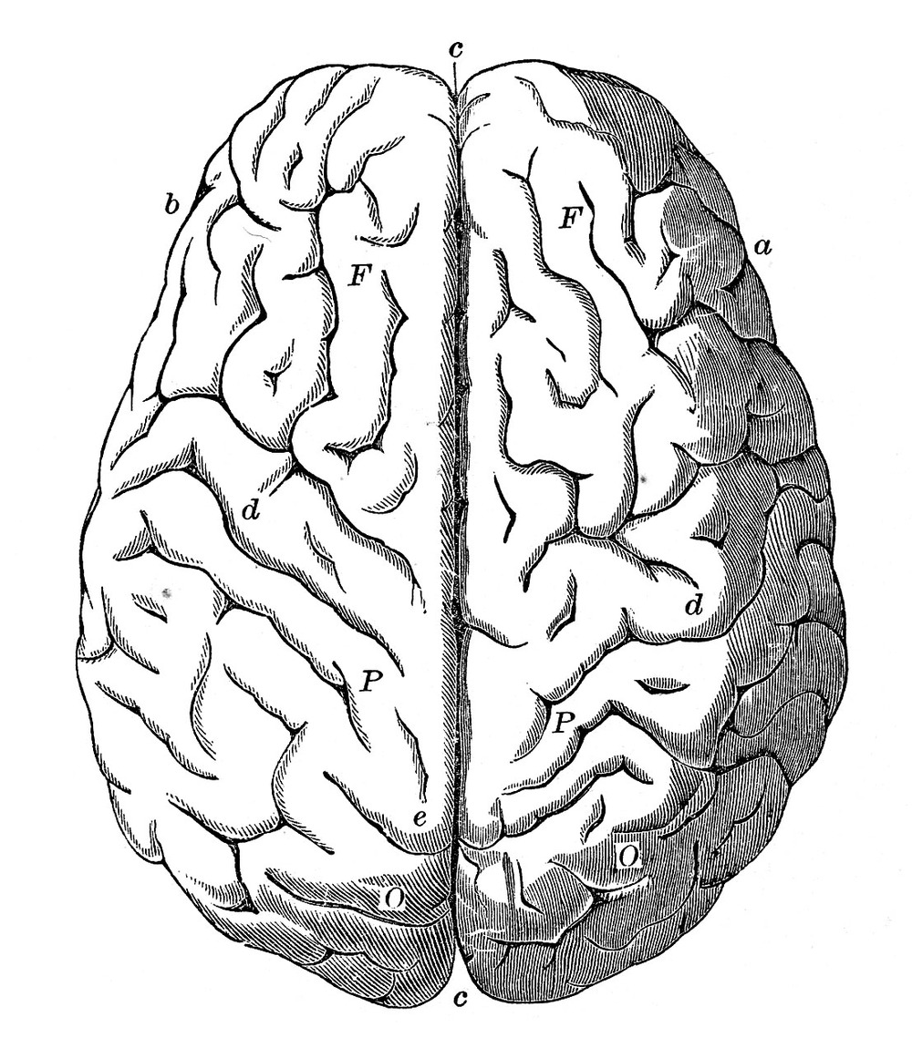 Line Drawing Brain : Human brain drawing front view