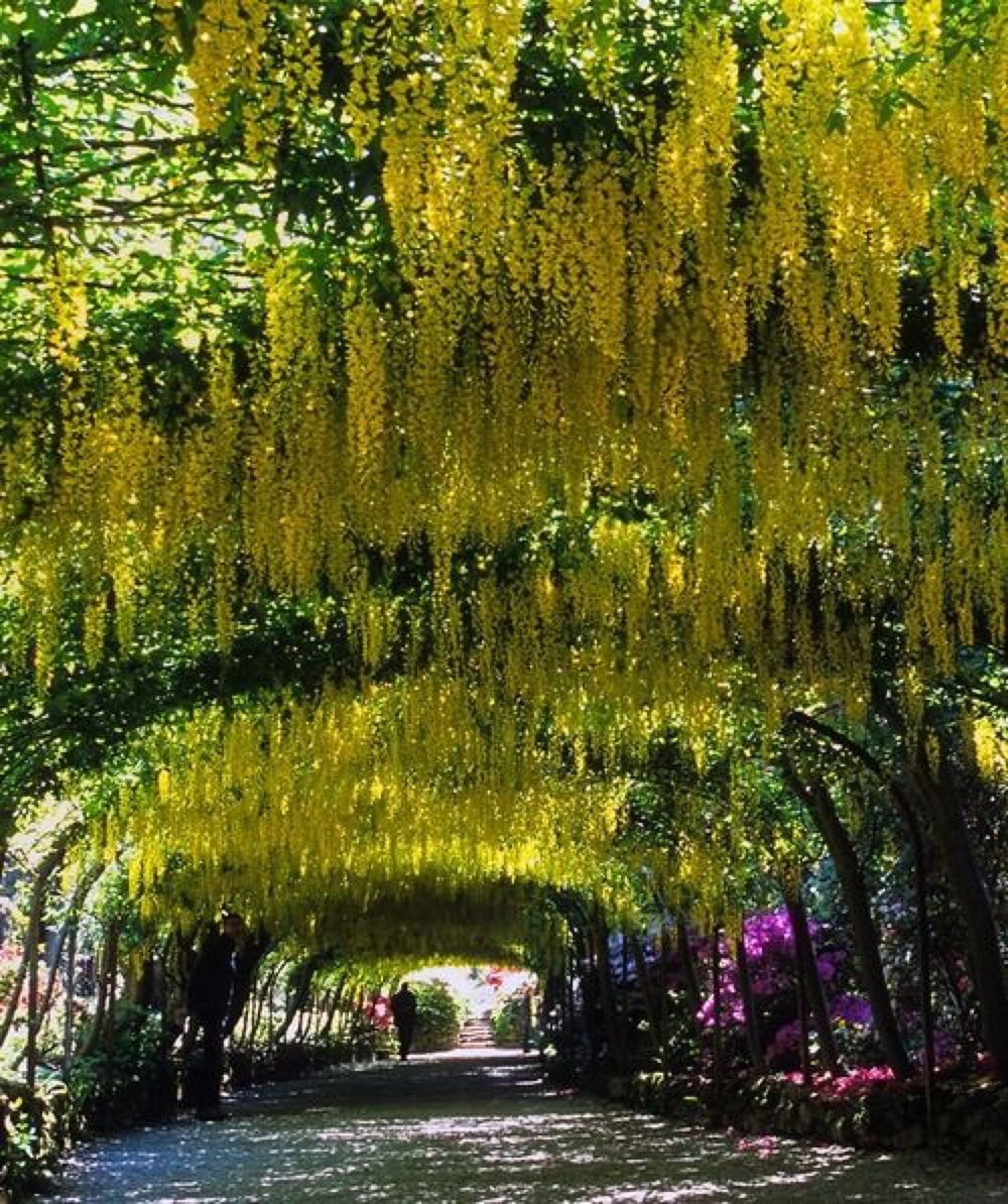 Laburnum Arch at Bodnant Garden, Conwy, Wales