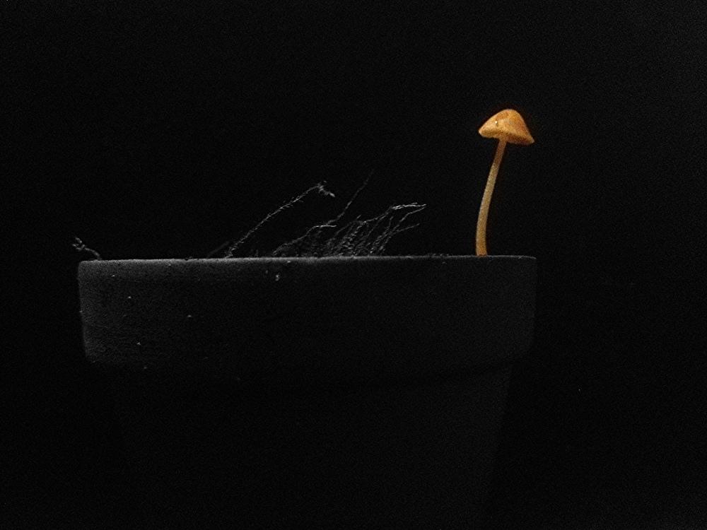 LBM (little brown mushroom)