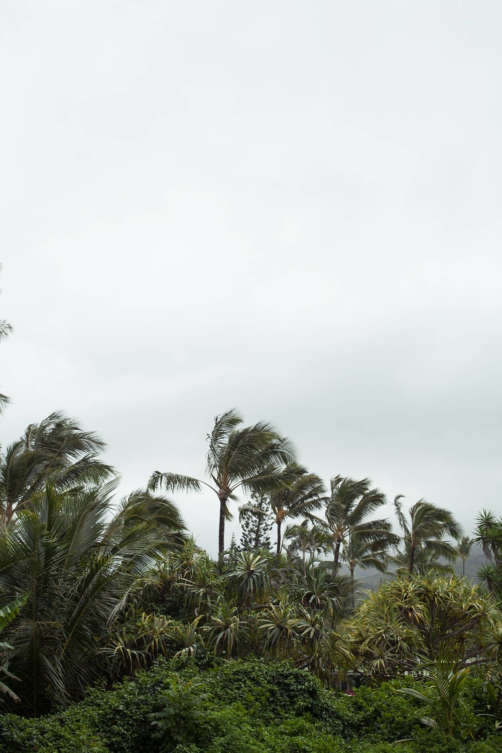 Palm-trees-wind-Maui-Hawaii.jpg
