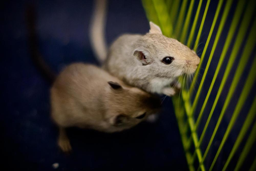 Smokey (brown) & Pepper (grey) - Gerbils are highly social and love to play together.