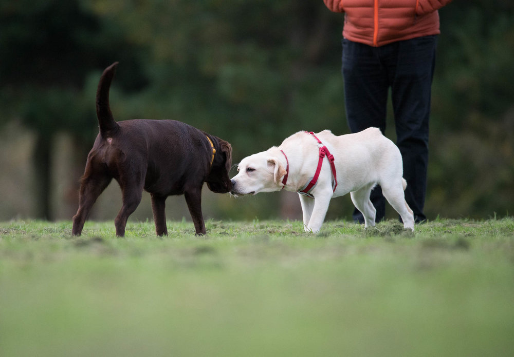 Jess and the 'unknown' Retriever making friends before deciding to adopt each others owners. Celebrity dog swap anyone?