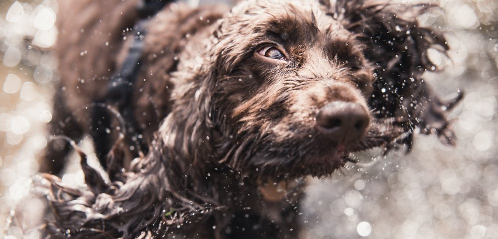 Dog photography - close up portrait of a Spaniel in action