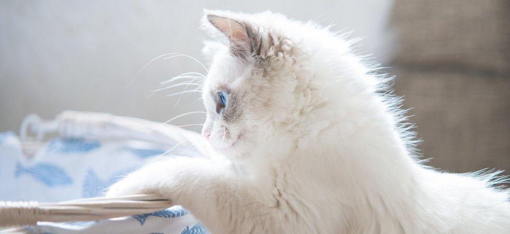 Cat photography - portrait of a white Ragdoll Kitten