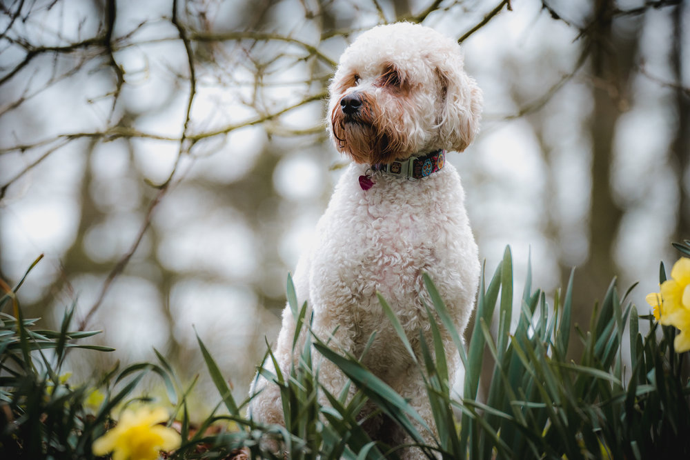 Cockapoo woodland portrait