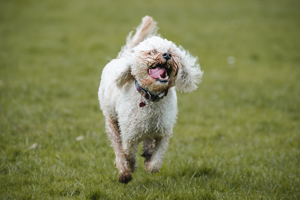 Small Cockapoo dog running