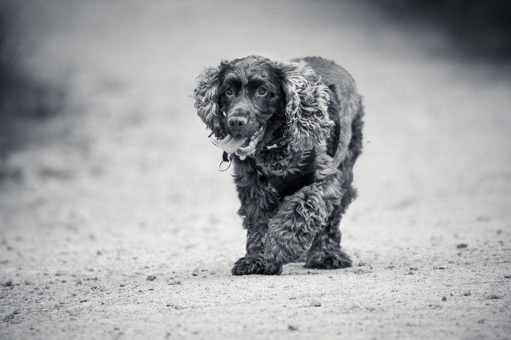 A professional dog photograph of a Spaniel on a dusty path