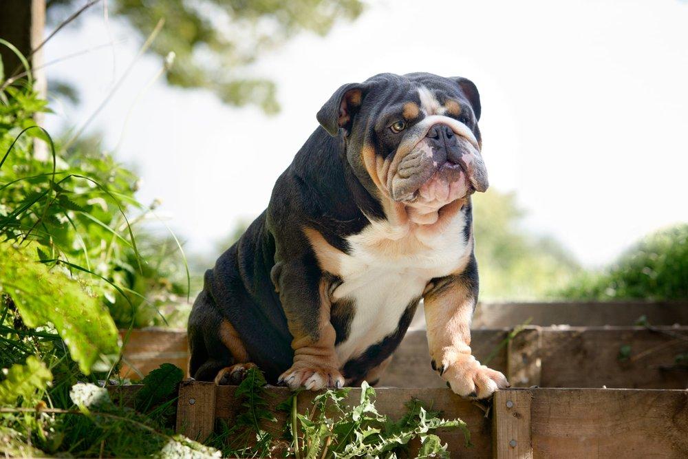 Bruce the British Bulldog sitting in the sunshine