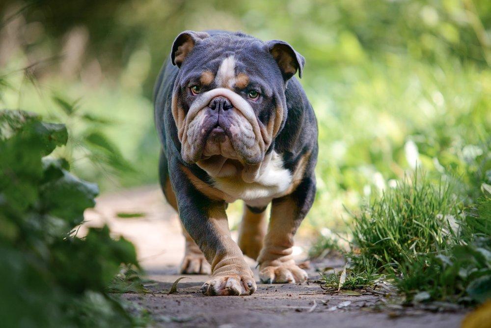 British bulldog photography