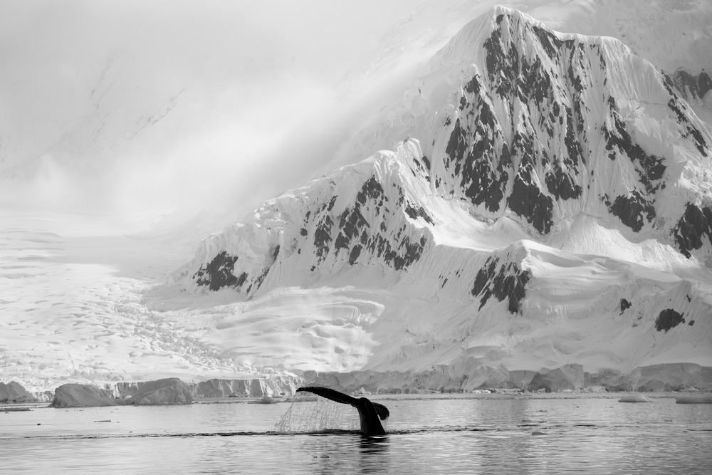 Humpback Whale, Fournier Bay, Antarctica