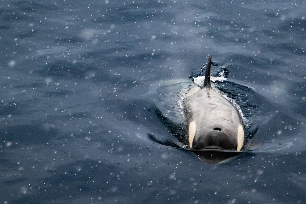 Orca, Antarctic Sound, Antarctica