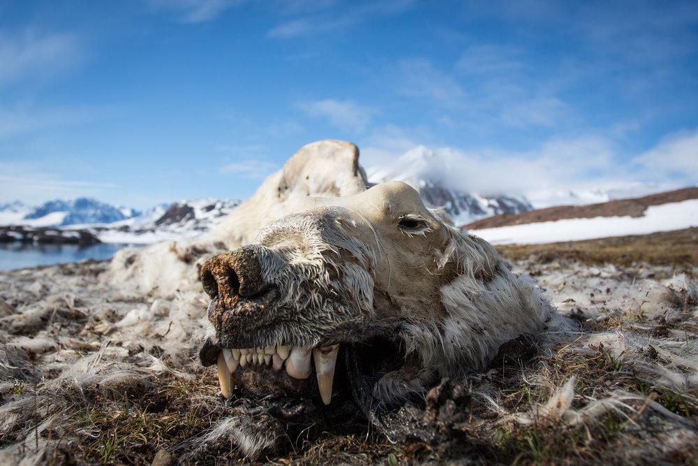 Polar Bear, Monacobreen, Svalbard