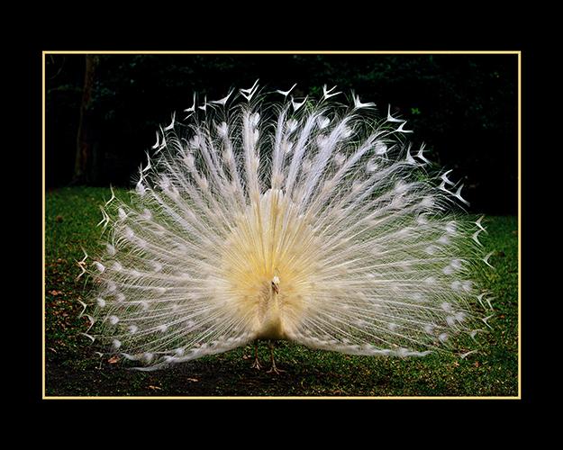 white peacock.jpg