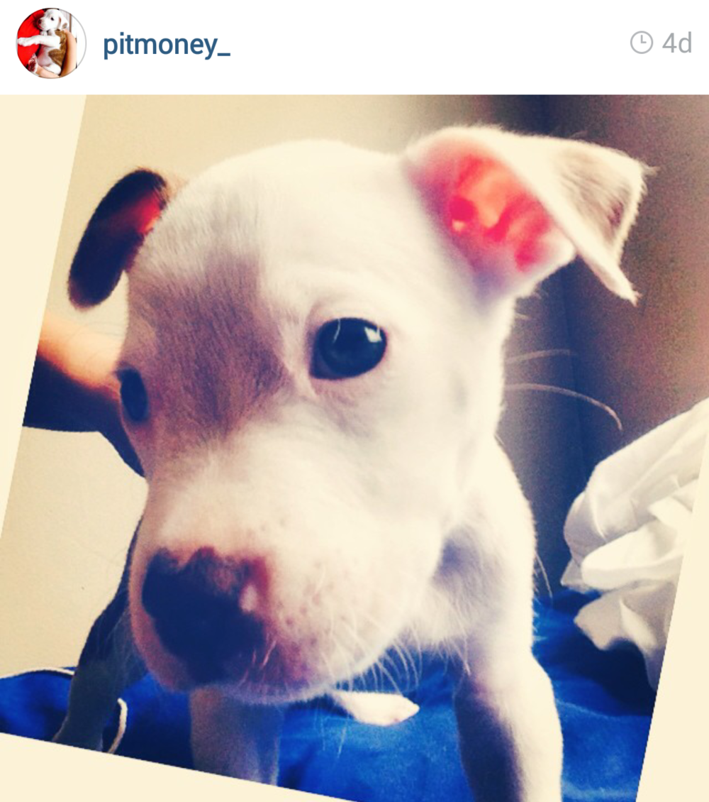 the 45 absolute cutest pit bull puppies on instagram my