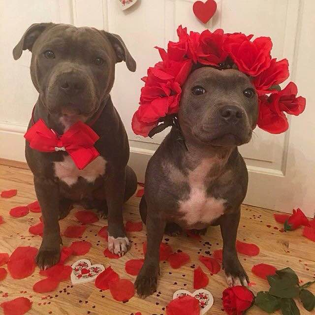 pit bull lovers dating site