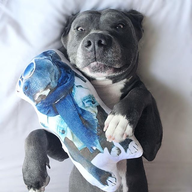 What's better than one Bentley? Two! . . You can get your own customized pet pillow from @pawjoy.co just click the link in my bio and use code: BENTLEYPITBULL for free shipping!
