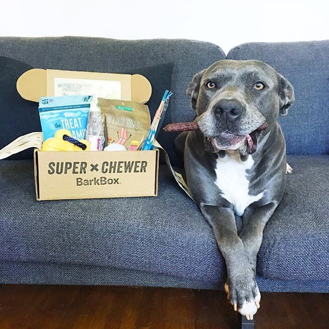 Bentley is definitely loving her @superchewer Box 📦 We'll be having lots of fun with these extra tough toys and yummy treats! 😊 . Click on the link in my bio to sign up and use code: PITBULLFRIEND for a Free Extra Month with the purchase of a 6 or 12 month subscription!