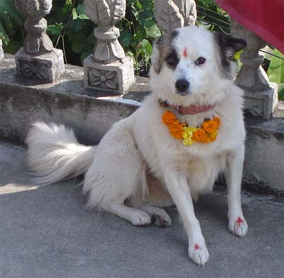 Dogs are venerated in Nepal, especially during our festival of Tihar.