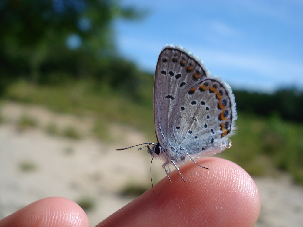 Twin Peaks is one of the few remaining habitats for the endangered Mission blue butterfly. Many other bird, insect and vegetation species thrive in this area.