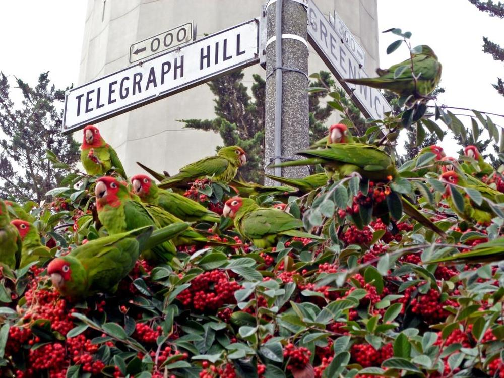 The Wild Parrots of Telegraph Hill, seen flying throughout the neighborhood year-round, were the topic of a 2013 book and a subsequent documentary.