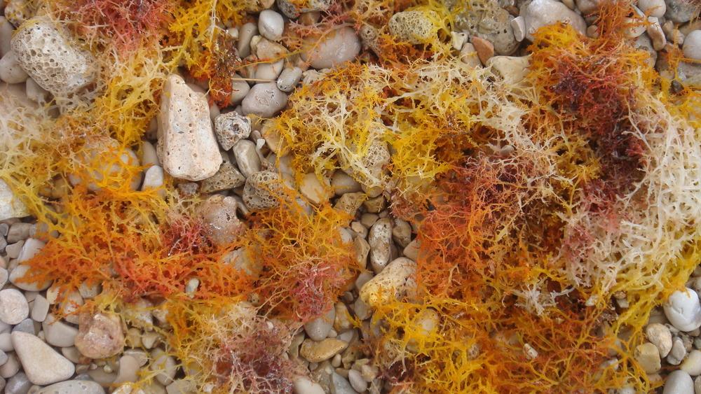 algae composition .JPG