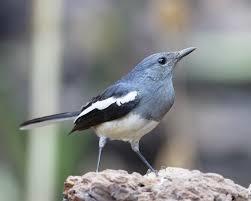 Oriental Magpie Robin, Greek National Bird