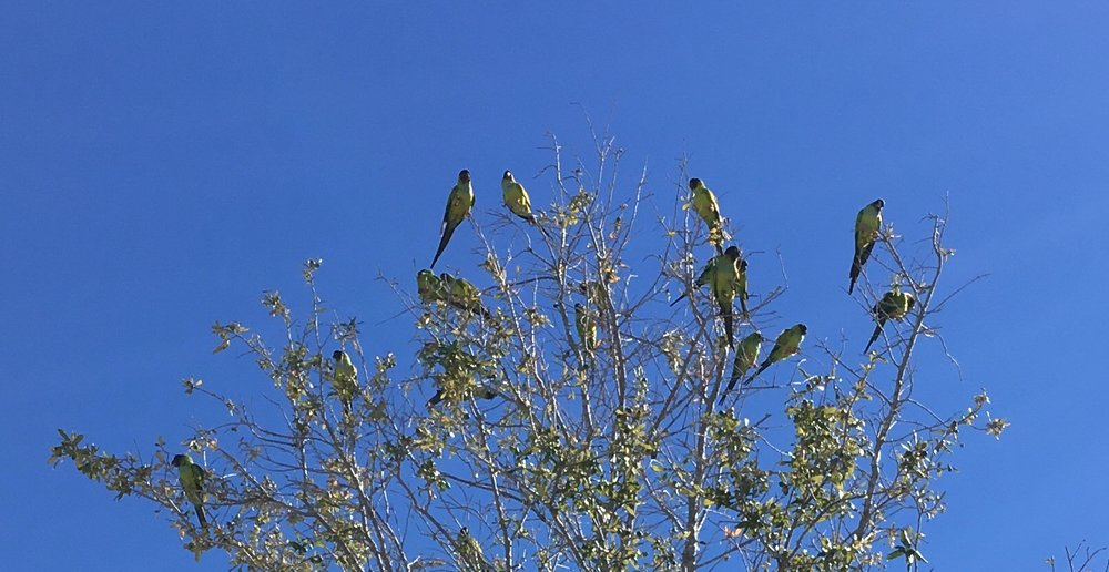 """FLORIDA WILD PARROTS"" TAKEN IN TARPON SPRINGS, FLORIDA BY WISE OWL ANNA"