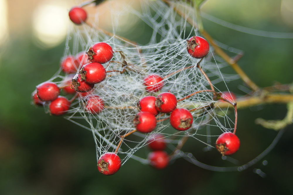 Hawthorn Berries in Spider's Web