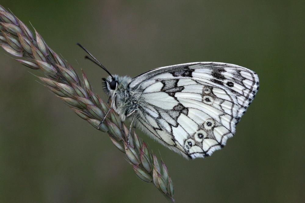 Marbled White (male underside)