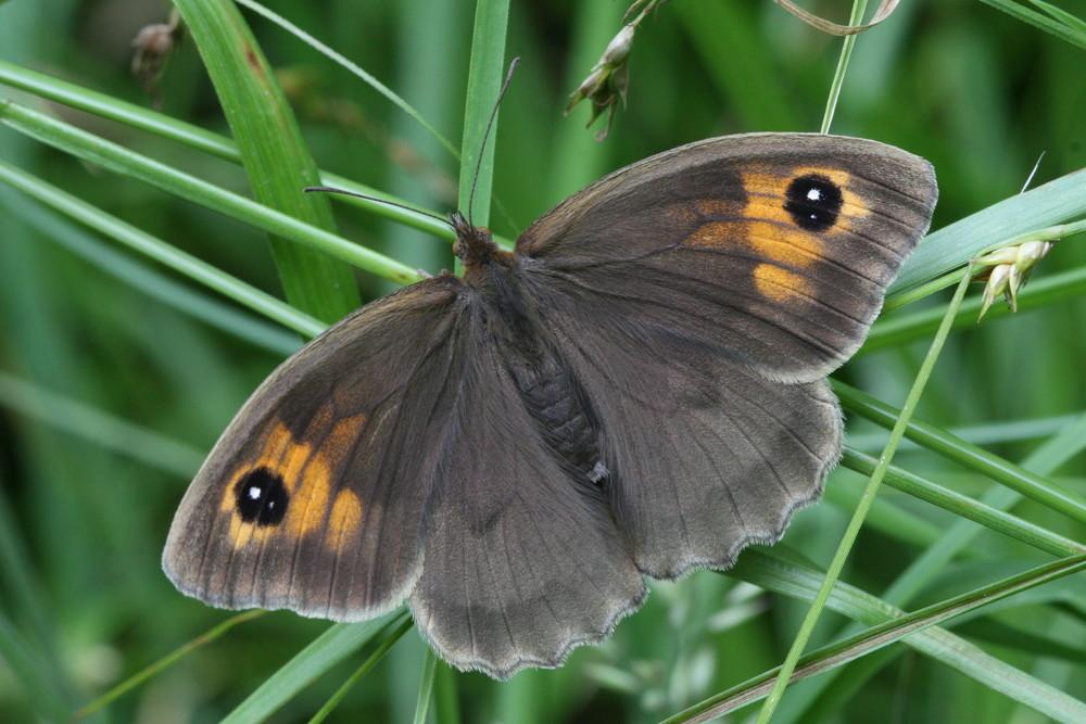 Meadow Brown (female upperside)