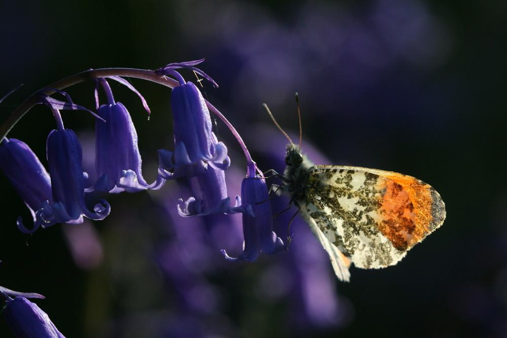 Orange-tip (male underside)