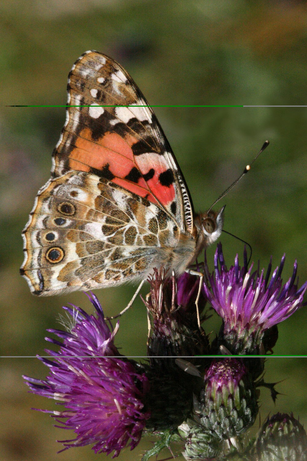 Painted Lady - male or female underside (identical)