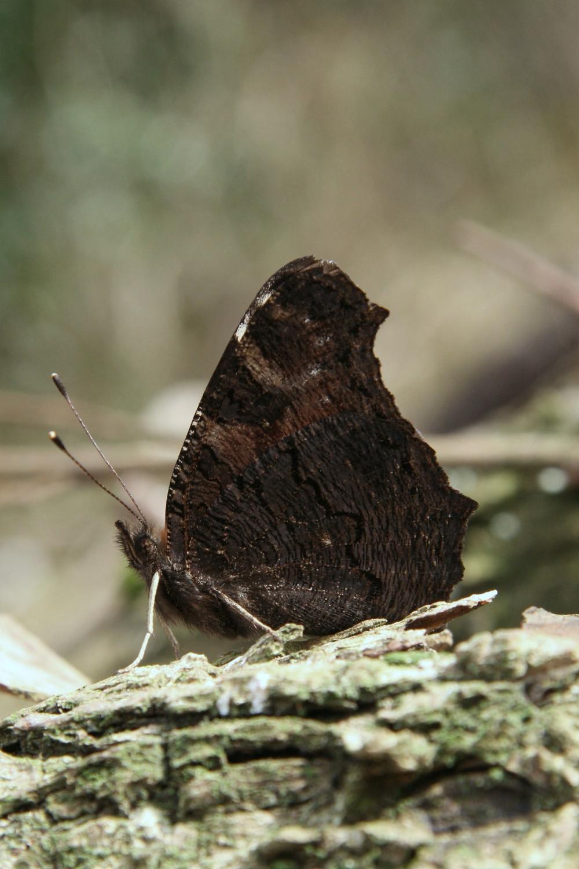 Peacock - male or female underside (identical)