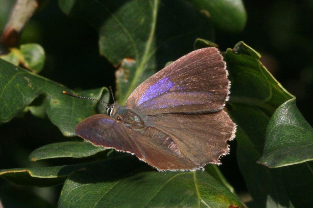 Purple Hairstreak (female upperside)