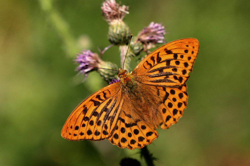 Silver-washed Fritillary (male upperside)