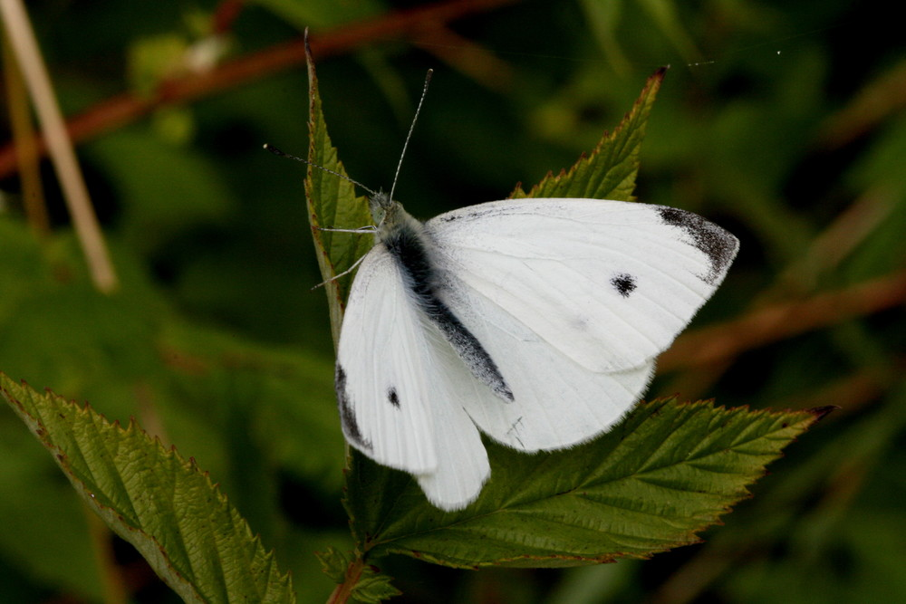 Small White (male upperside)