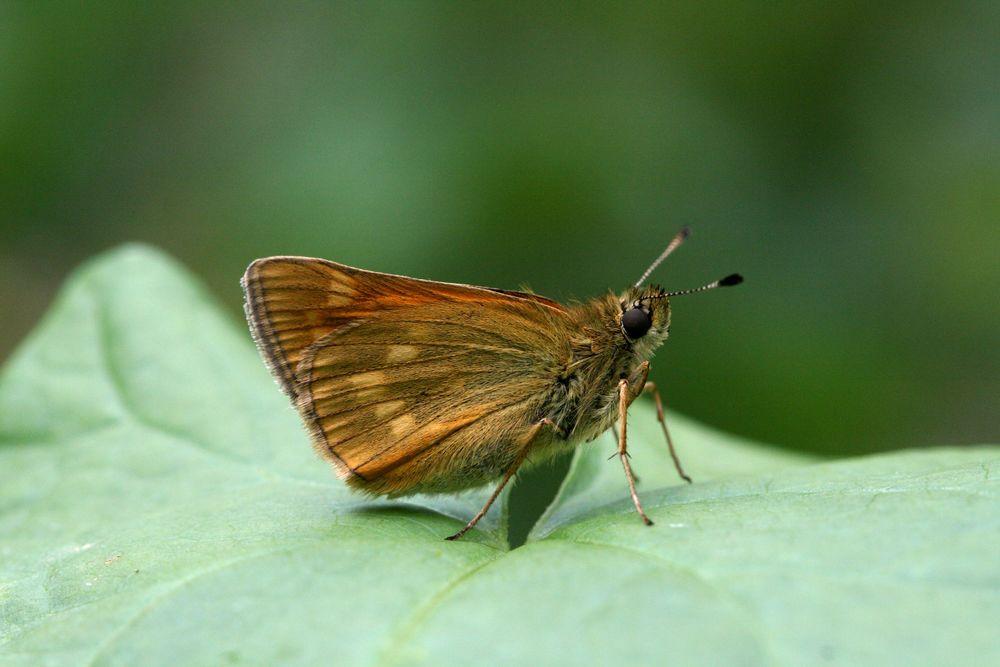 Large Skipper - male or female underside (identical)