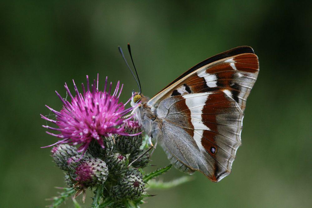 Purple Emperor (male underside)