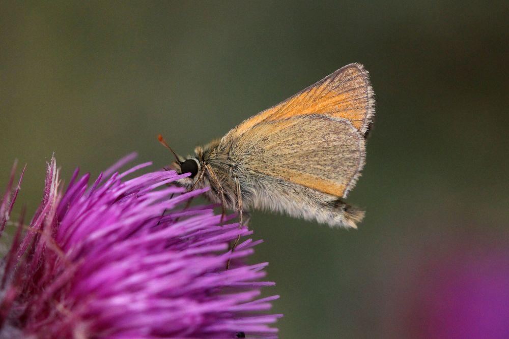 Small Skipper - male or female underside (identical)