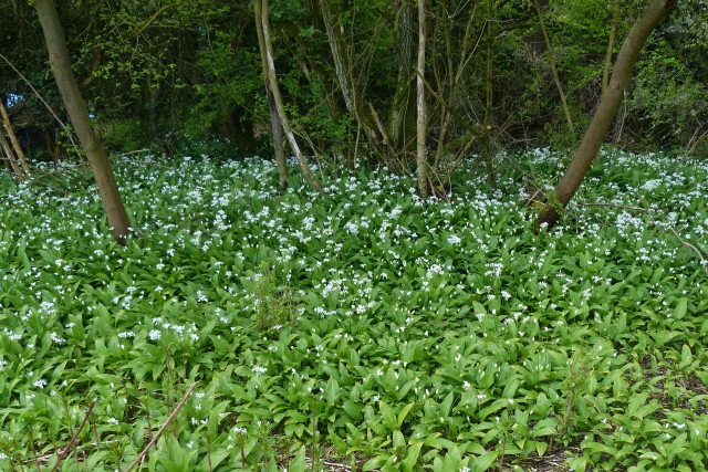 Wild Garlic on Hawridge and Cholesbury Commons