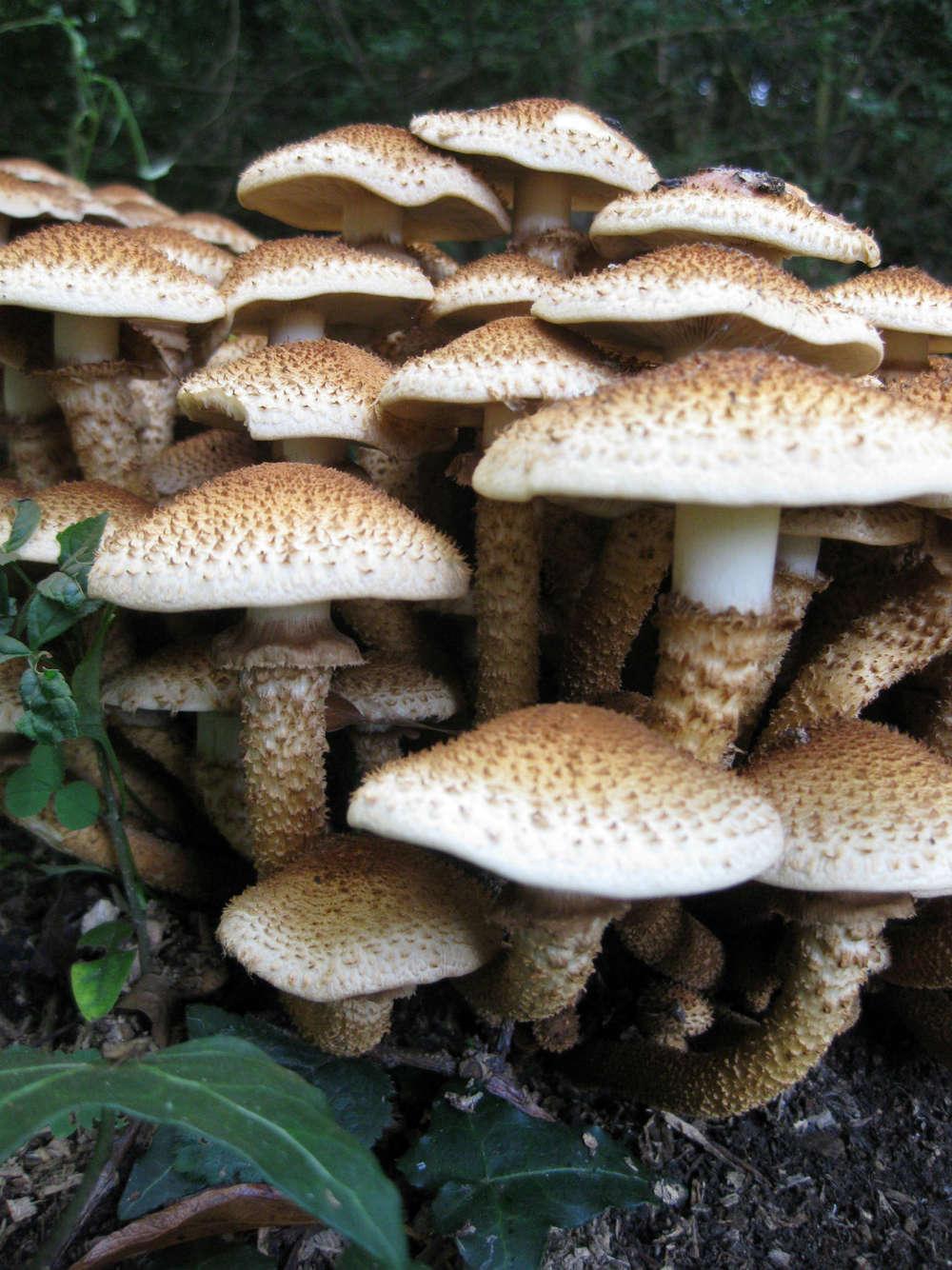 honey fungus 3sm.jpg