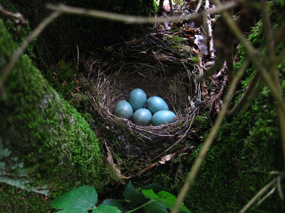speckled blue eggs small_8929.jpg