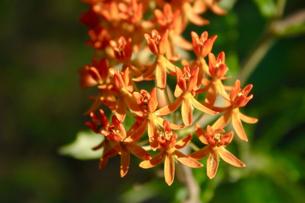 Butterflyweed (Asclepias tuberosa), Reed Bingham State Park