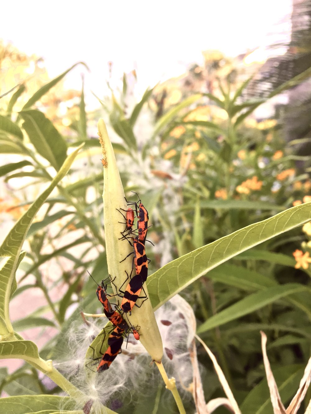 Large milkweed bugs with milkweed aphids. Silky seeds of butterflyweed in background.