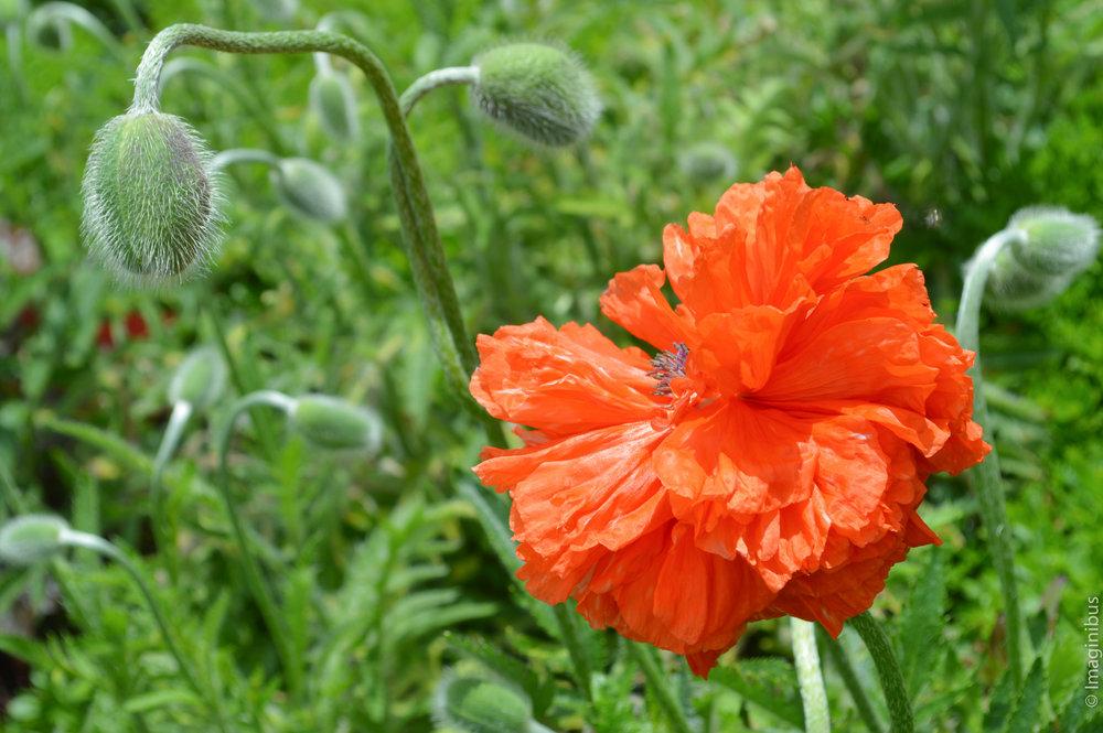 Montreal Botanical Garden Poppy