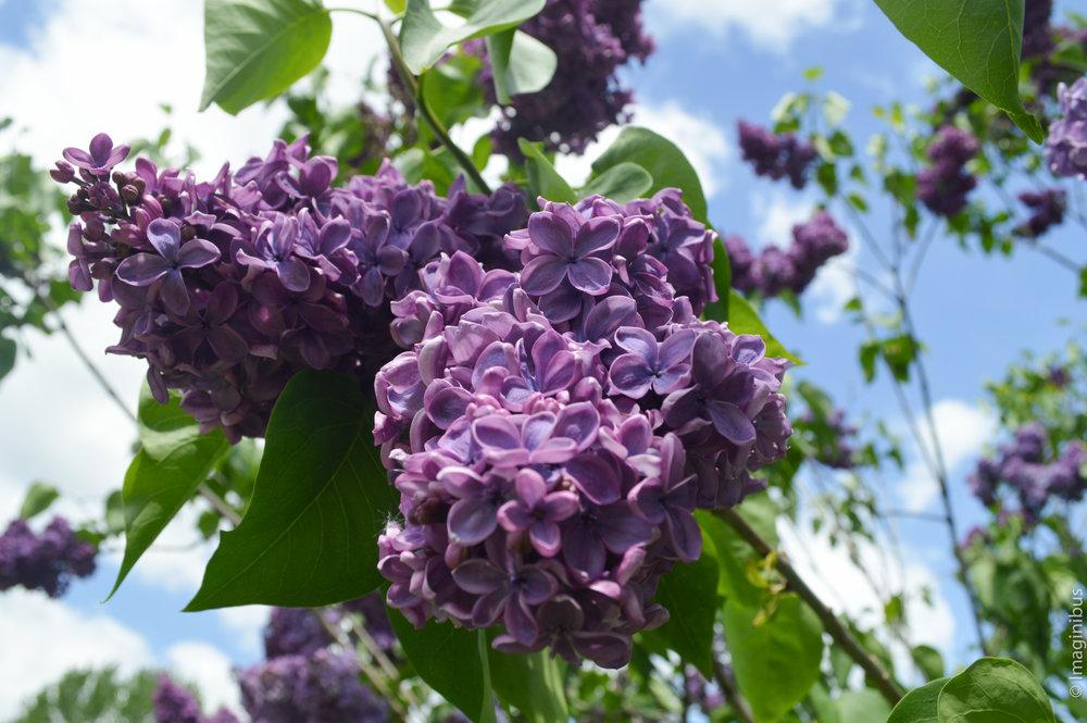 Montreal Botanical Garden Lilac