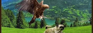 Run pug run; hawks are in the house!